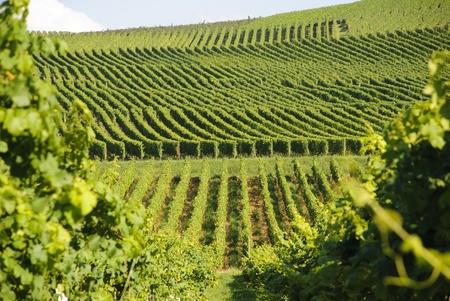 Green vineyard hills