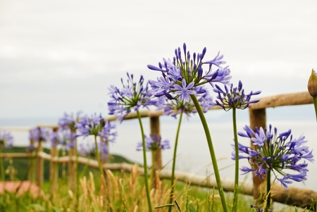 Fence above the cliff with flowers, Faial island, Azores photo