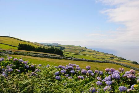 Green meadows with hortensias, Sao Jorge island, Azores, Portugal Stock Photo