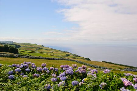 Green meadows with hortensias, Sao Jorge island, Azores, Portugal photo