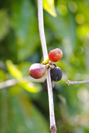 Coffe seeds growing on coffe plant photo