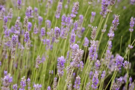 Violet lavender blossoming