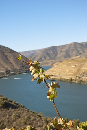 Vineyards at Douror river valley in autumn photo