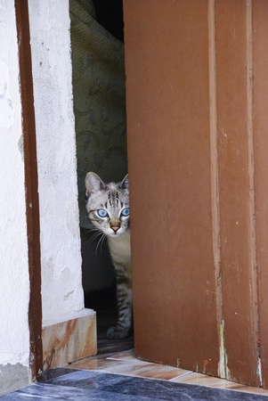 Domestic cat with blue eyes at the door