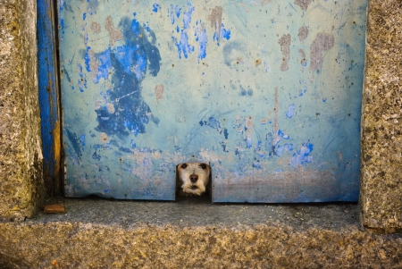 Small dog barking over the hole at the blue door photo