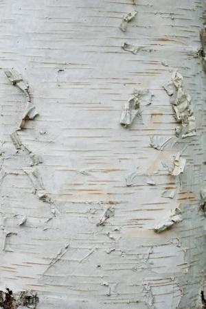 Birch bark tree trunk close up