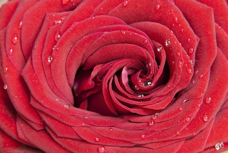 Red rose flower closeup with waterdrops photo
