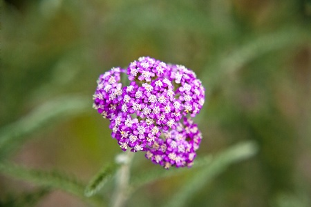 Pink yarrow herb blossoming photo