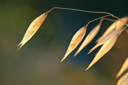 oat plant: Dry oat plant over the green background