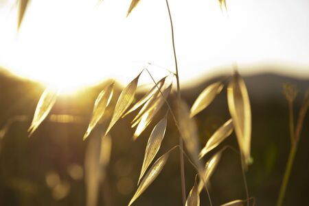 Dry oat in sunlight flare photo