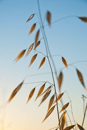oat plant: Dry oat plant in sunset dawn