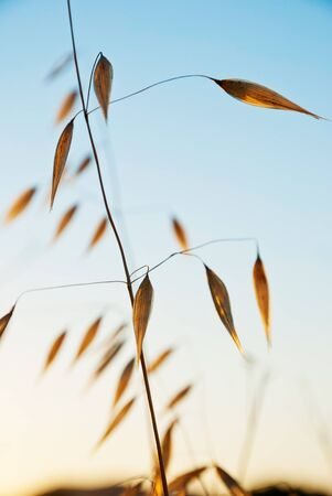 Dry oat plant in sunset dawn photo