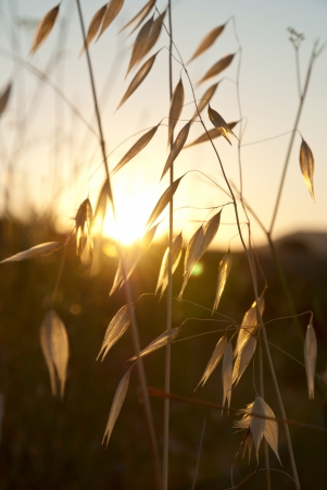 Dry oat in sunset over the hill photo