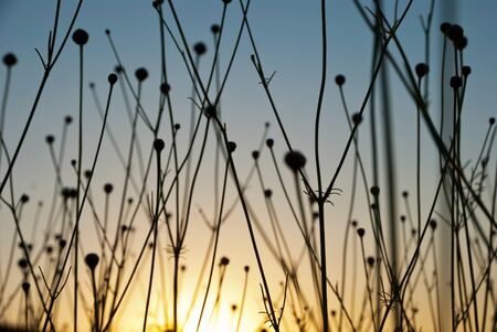 Dry spare of grass in sunset dawn photo