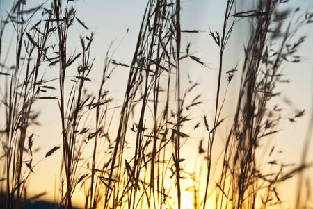 Dry spears of grass in sunset dawn photo