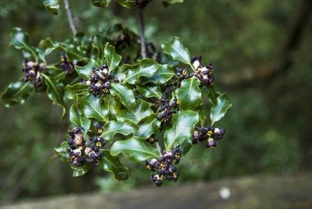 Bush flowering black, Cies island natural park Galicia  photo