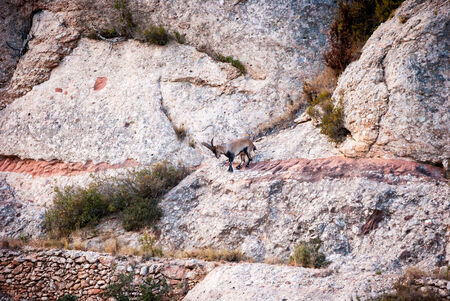 Spanis ibex, capra pyrenaica in the mountains of Montserrat photo
