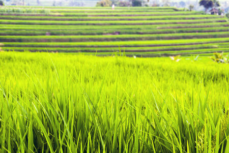 Rice fields terraces with fresh young rice, in Bali, Indonesia photo