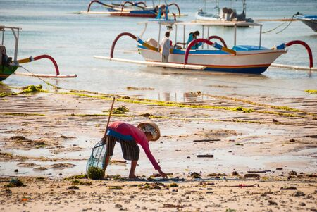 algal: NUSA LEMBONGAN, INDONESIA - SEPTEMBER 25: Woman picking up algae on the beach to be used in pharmaceutical or food industry in Nusa Lembongan on September 25, 2014