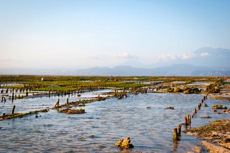algal: Algae farm field in Nusa Lembongan, Indonesia