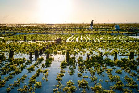 Algae farm field in Nusa Lembongan, Indonesia