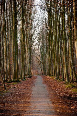 beech tree beech: Road trough the beech tree forest