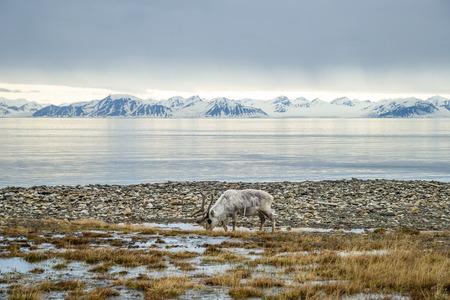 renna: Renna mangiare erba di fronte alla mare e montagna in lento in Svalbard, Arctic Archivio Fotografico