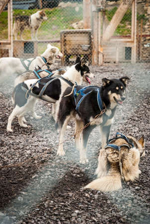 sled dogs: Sled dogs waiting in the kennel Stock Photo