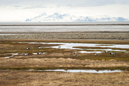 Birds in arctic tundra in summer, Svalbard, Norway