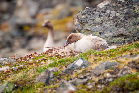 white fronted goose: Grater white fronted goose nesting in arctic tundra