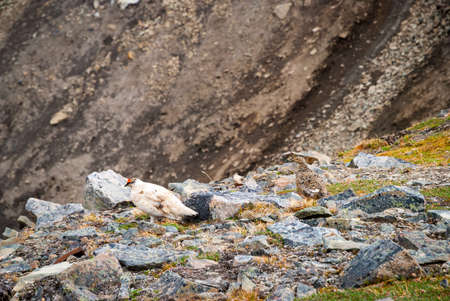 gamebird: Couple of rock ptarmigan birds nesting in Svalbard, Norway
