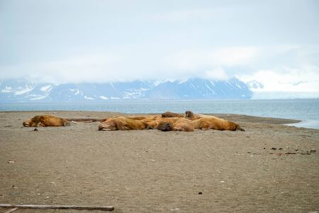 spitsbergen: Walruses lying on the shore in Svalbard, Arctic Stock Photo