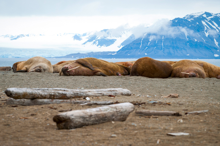 svalbard: Walruses lying on the shore in Svalbard, Arctic Stock Photo
