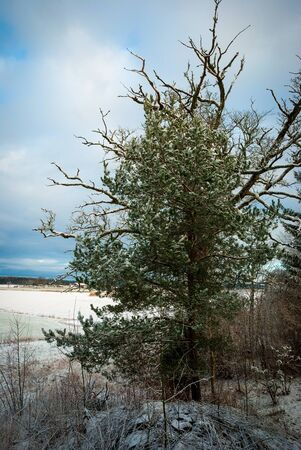 pinetree: Lonely pinetree in snow in winter, Norway Stock Photo