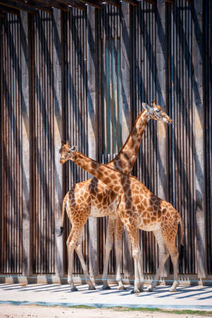 enclosure: Two beautiful giraffes against of wooden wall of zoo enclosure