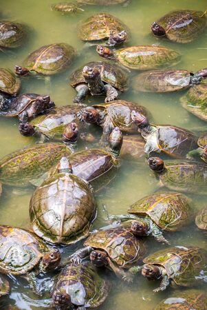 cartilaginous: Group of turtles in green pond water