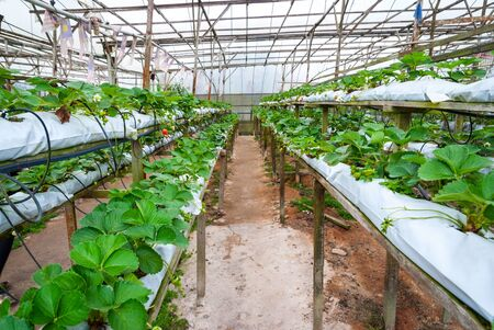 cameron highlands: Strawberries growing in lines in greenhouse farm, Cameron highlands, Malaysia