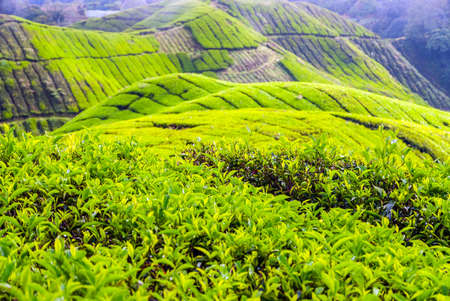 cameron highlands: Scenic valley with tea plantation, Cameron highlands, Malaysia