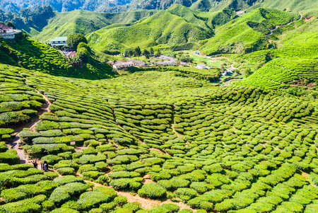 highland: Village in the middle of tea plantations, Cameron highlands, Malaysia