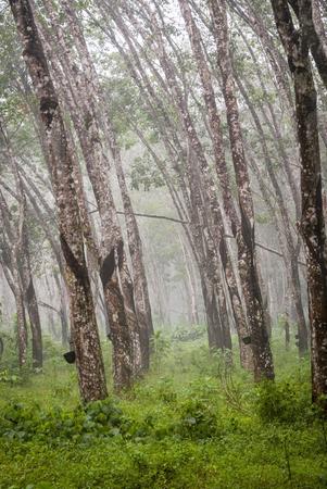 caoutchouc: View on caoutchouc tree forest plantation Stock Photo