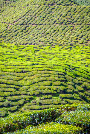 cameron highlands: Scenic tea plantations in cameron highlands, Malaysia