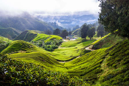 highland: Scenic valley with tea plantation, Cameron highlands, Malaysia