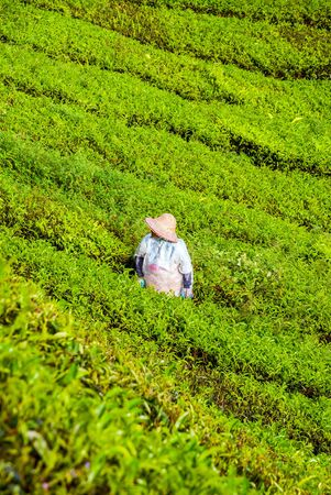 cameron highlands: Farmer harvesting tea leaves in plantation in Cameron highlands, Malaysia Stock Photo