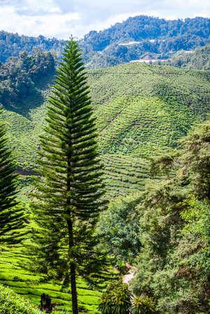 highlands: Green landscape of Cameron highlands, Malaysia