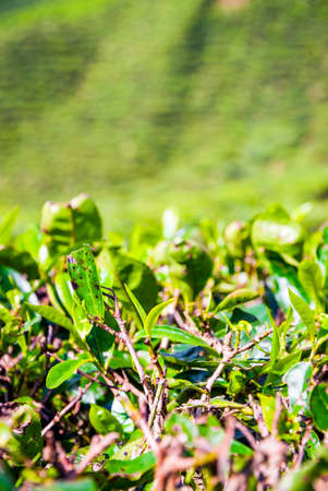 bush to grow up: Close up of tea bush leaves, Cameron highands, Malaysia