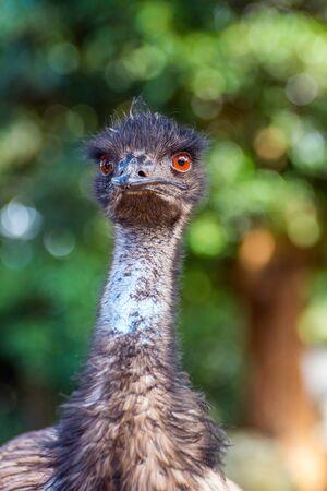 flightless: Emu bird looking directly, close up photo