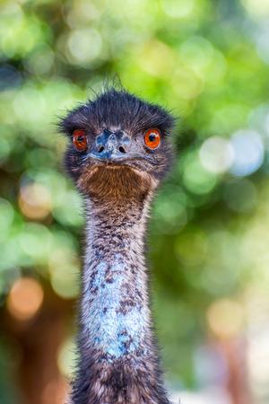 emu: Emu pájaro que mira directamente, cerca de la foto Foto de archivo