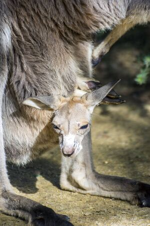 kangaroo mother: Baby gray kangaroo looking from its mother pouch Stock Photo