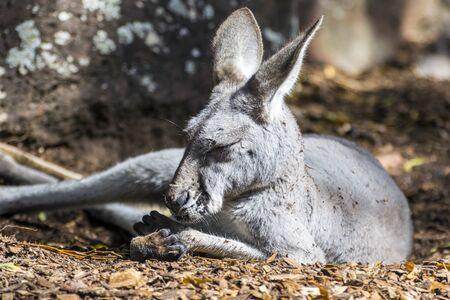 Gray kangaroo sleeping on the ground