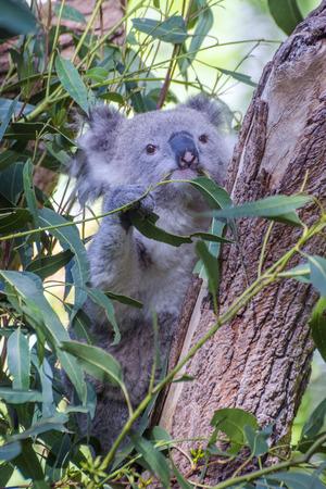 eucalyptus tree: Koala bear eating leafs on eucalyptus tree
